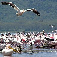 Oiseaux du Kenya