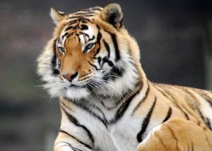 tigre en Afrique du Sud