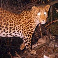 Guépard en Afrique