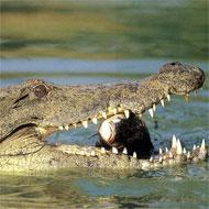 Aligator Globalong
