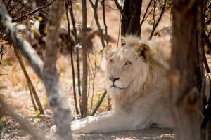 Lionne parc Kruger