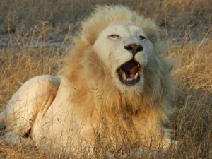 Lion blanc en Afrique du Sud Avec Globalong