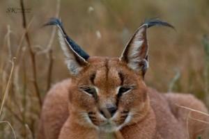 Wild_Cats_3