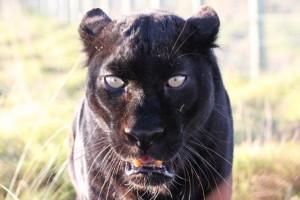 Panthere noir Afrique du Sud
