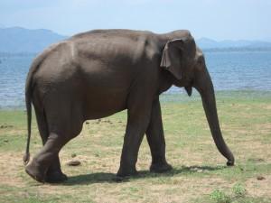 Missions de bénévolat avec les éléphants Globalong