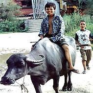 les enfants se balladent sur des vaches au Cambodge avec Globalong
