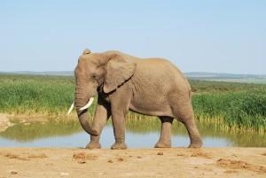2léphant en Afrique du Sud Safari et bénévolat Globalong