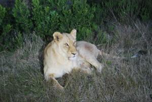 Lionne en afrique - Globalong