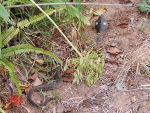 le cobra en plastique en Afrique du Sud - GlobAlong
