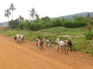 troupeau de chèvre sur le coté de la route - GlobAlong
