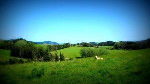 volontariat en nouvelle zélande - moutons - globalong